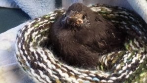 baby-grackle-in-knitted-nest